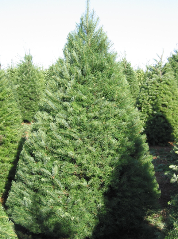 Douglas Fir Christmas Tree | Premier