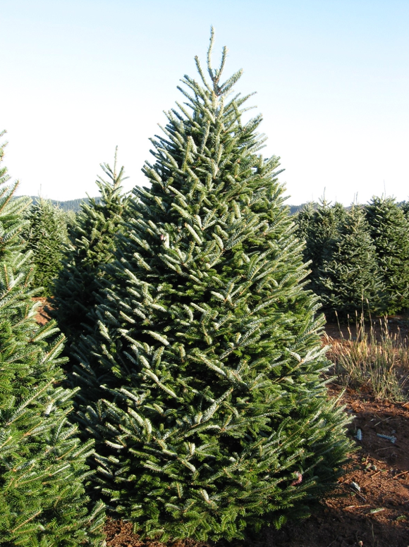 Frazier Fir Christmas Tree | Premier