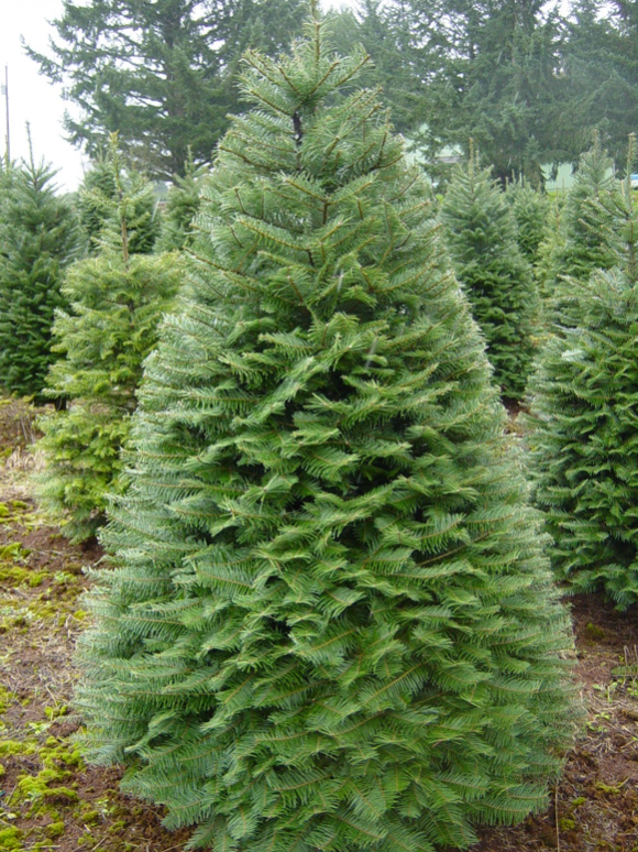 Grand Fir Christmas Tree | Premier