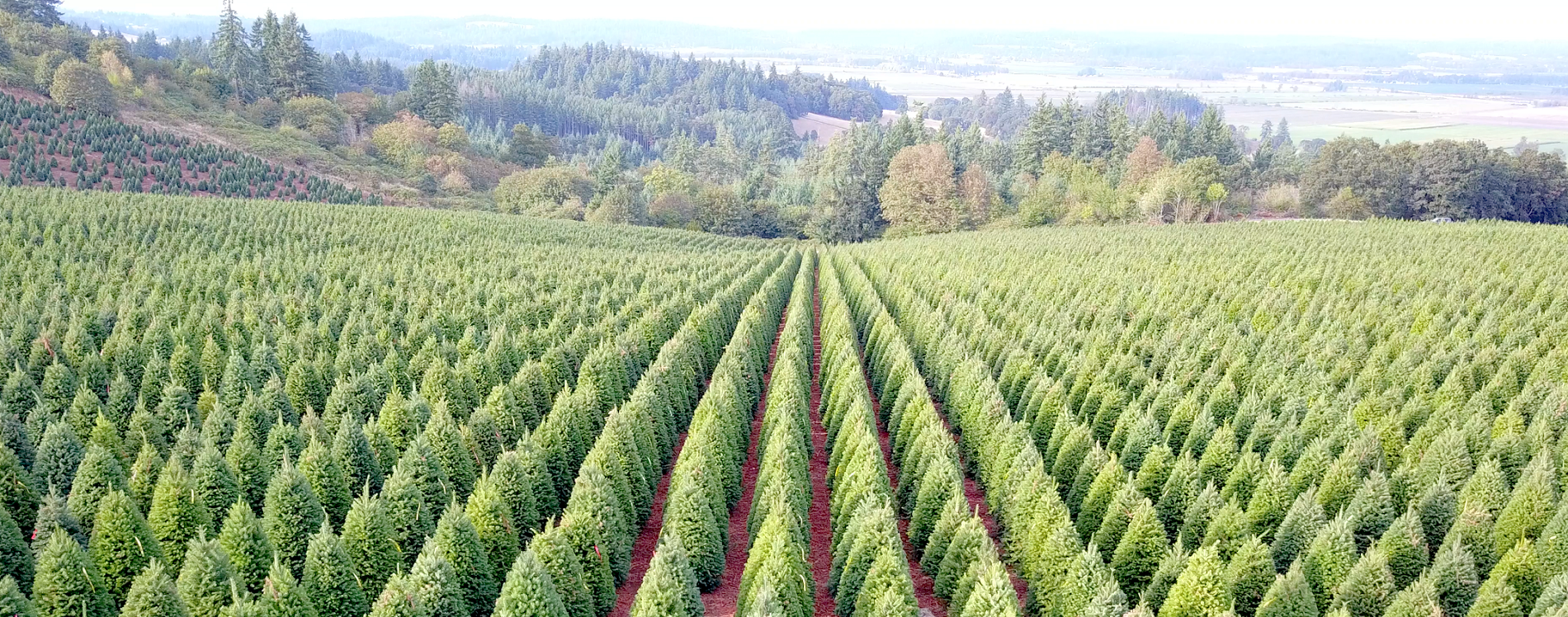 Premier Christmas Tree farm pic